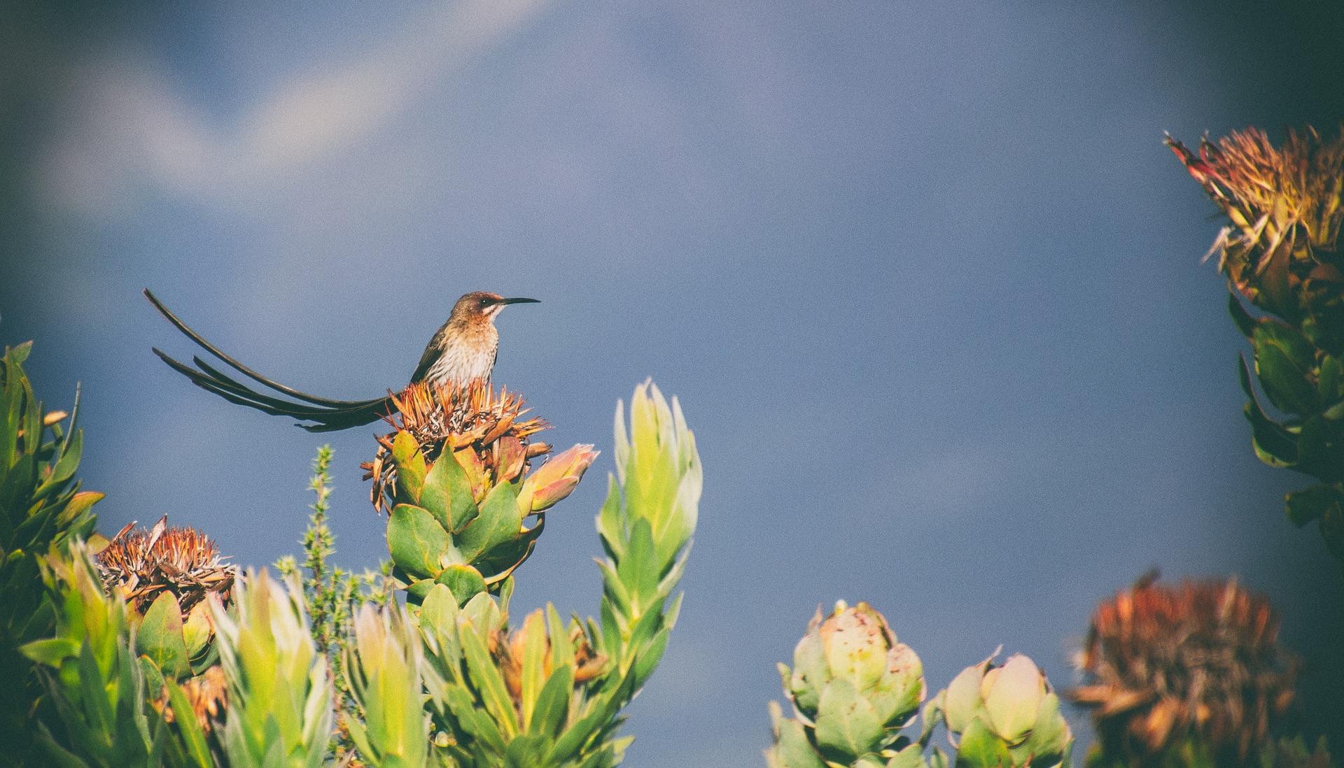 Cape Sugarbird long tail