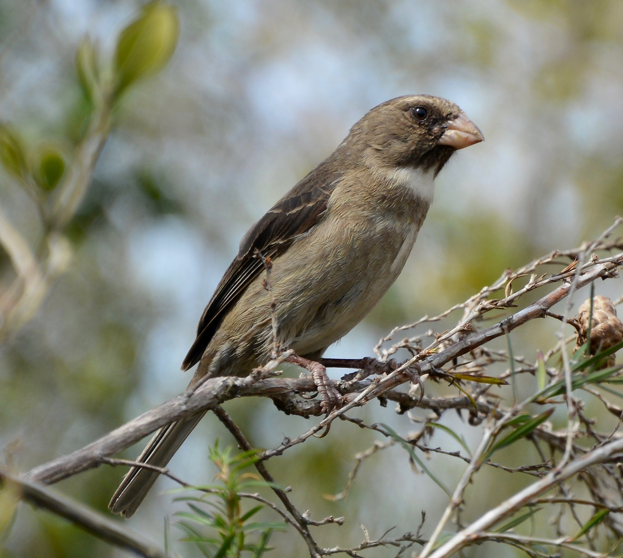 Protea canary